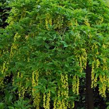 laburnum alpinum pendulum buy weeping scotch laburnum trees