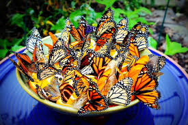 make a homemade butterfly feeder to attract butterflies to your