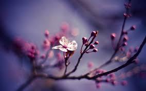 cherry blossom wallpaper 6564 1920x1200 px hdwallsource com
