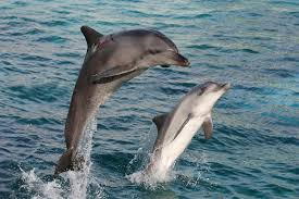 Male Dolphin Anatomy Bottlenose Dolphin Facts For Kids Dolphin Photos