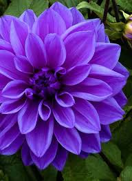 purple flower dahlia lilac time dinnerplate type beautiful violet colored