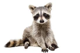 what do raccoons eat