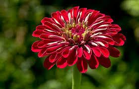Zinnia Flower How To Save Zinnia Seeds