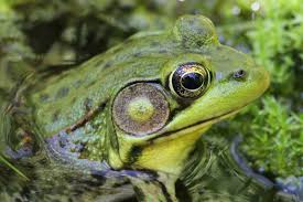 green frogs calling u2013 welcome to a photographic journey through