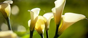 cala lillies callalilyguide your guide to growing and caring for calla lilies