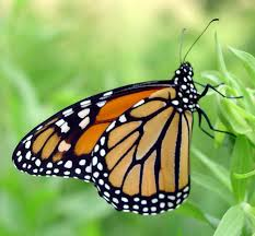 monarch butterfly living evidence