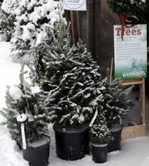 live christmas trees care of live christmas trees gardener s supply