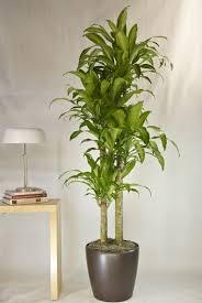 indoor trees that don t need light great indoor trees home furniture design kitchenagenda com