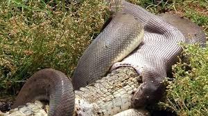 vidio film ular anaconda heboh ular anaconda makan buaya mc news vidio com