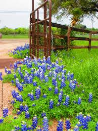 texas bluebonnet series inks lake state park texas the