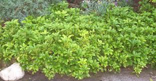 california native plant ground cover plants green ground cover plants round designs