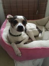 american eskimo dog jack russell mix burbank ca jack russell terrier meet flaco a dog for adoption