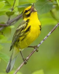 Florida Backyard Birds - prairie warbler audubon field guide