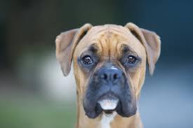 boxer dog rescue rockin p rescue boxer rescue u2013 saving one dog at a time u2026