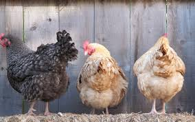 Chicken In Backyard How To Raising Chicken In Backyard A Beginners Guide Chickens