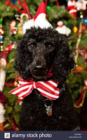 poodle in santa hat and bow tie in front of tree stock