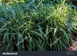 beautiful ornamental grass acorus calamus variegatus stock photo