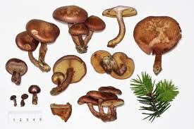 mushroom observer species list active psilocybin fungi of
