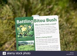 african native plants battling bitou bush an invasive south african weedy plant which