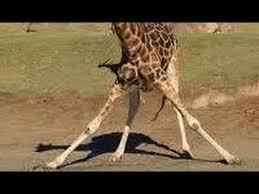 Drunk Giraffe Meme - go home giraffe you re drunk youtube