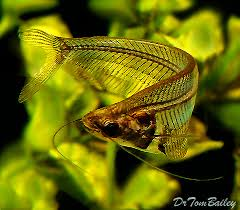 Buy Ornamental Fish Asian Tropical Fish For Sale