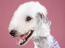 grooming a bedlington terrier puppy bedlington terrier dog breed information guide with pictures