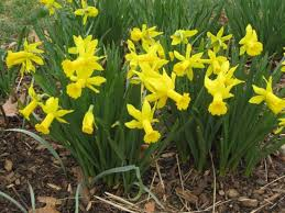 plant daffodil bulbs and stand back they u0027ll burst into bloom each