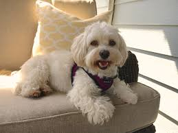 how to train an excited havanese to stop barking and behave when