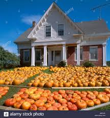 mass of pumpkins on the front lawn of a house in vermont new