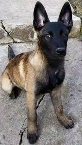 belgian shepherd tattoo belgian malinois just saw this picture and it reminded me of fox