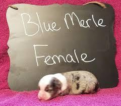 6 week old mini australian shepherd mini aussie asdr registration in hoobly classifieds