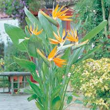 bird of paradise flower bird of paradise flower meuwen