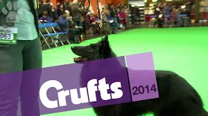 belgian sheepdog national specialty 2014 belgian sheepdog nationals 2016
