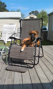 boxer dog keeps coughing 97 best boxer love images on pinterest puppy love love my dog