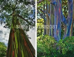 200 rainbow eucalyptus tree seed seed bark color is like a