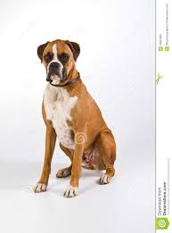 boxer dog youtube boxer dog sitting royalty free stock images image 18897859