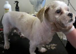 bedlington terrier shaved dog cat u0026 pet grooming