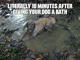 Golden Retriever Meme - my golden retriever loves that mud meme by thechum memedroid