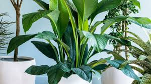 chic house plants u0026 tips on care sunset
