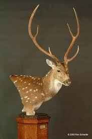 Deer Pedestal Big Game Taxidermy Half Size U0026 Pedestal Mounts Gallery