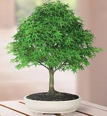 image result for pine bonsai styling bonsai styling images