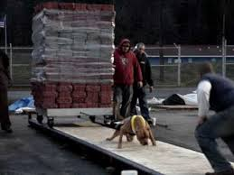 american pit bull terrier website american pit bull terrier