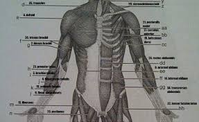 exercise 14 gross anatomy of the muscular system flashcards