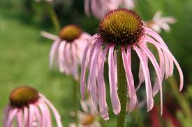 native plants of canada fafardflowers for honey bees