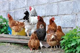 what is a free range chicken