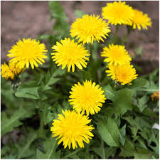 native plants of france amazon com package of 250 seeds dandelion herb taraxacum