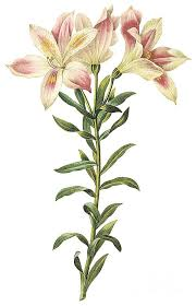 peruvian lilies peruvian drawing by spencer mckain