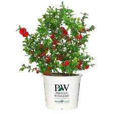 proven winners double take scarlet storm colorchoice chaenomeles 1