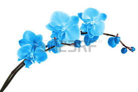 blue orchids blue orchids stock photos royalty free business images