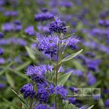 Bluebeard Flower - caryopteris bluebeard plants mail order trees